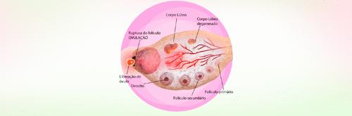 2 semanas de gravidez - Período fértil